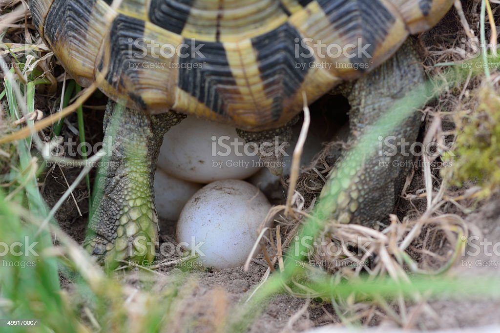 turtle laying eggs stock photo