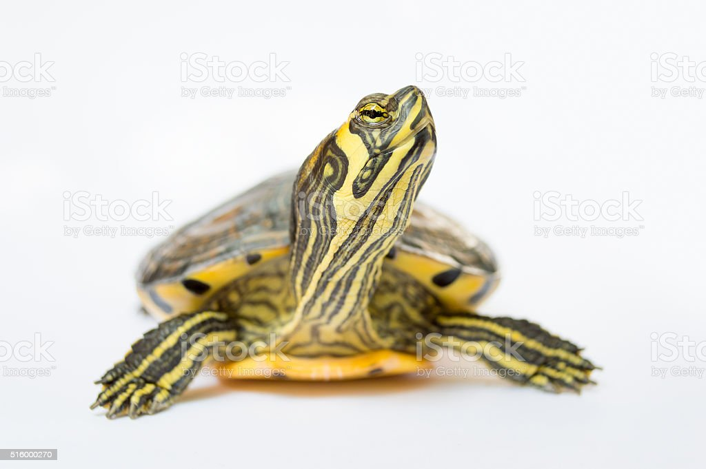 turtle looking up stock photo