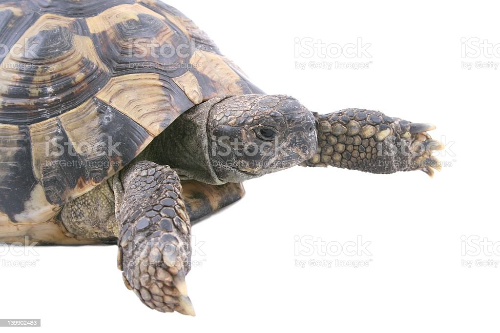 Turtle male isolated on White stock photo