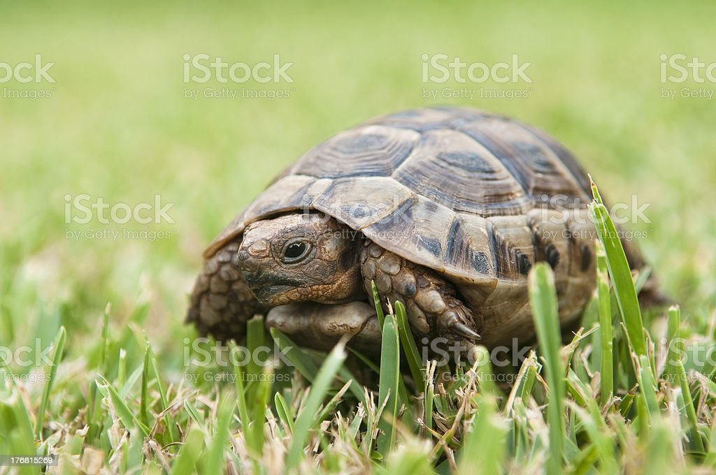 Turtle on a green grass stock photo