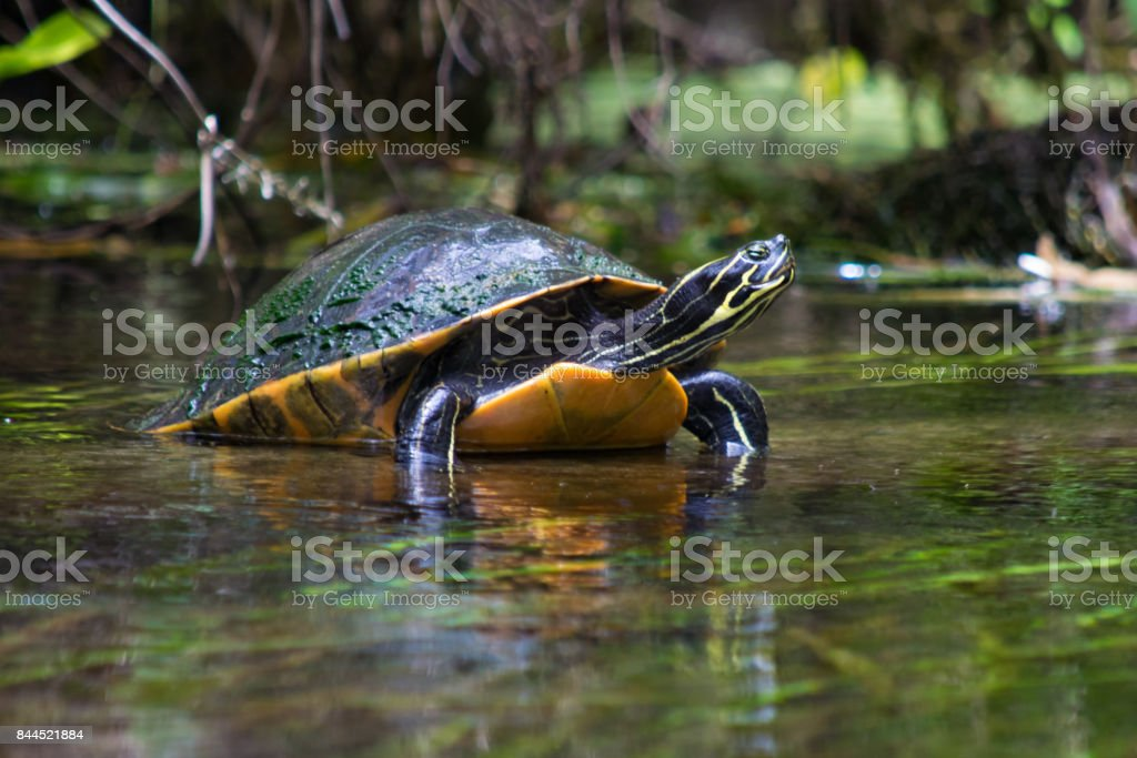 Turtle on a Riverbank stock photo