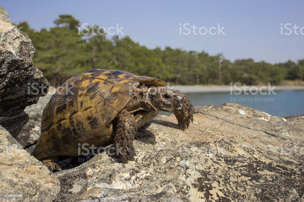 Turtle on a rock in the wild. stock photo