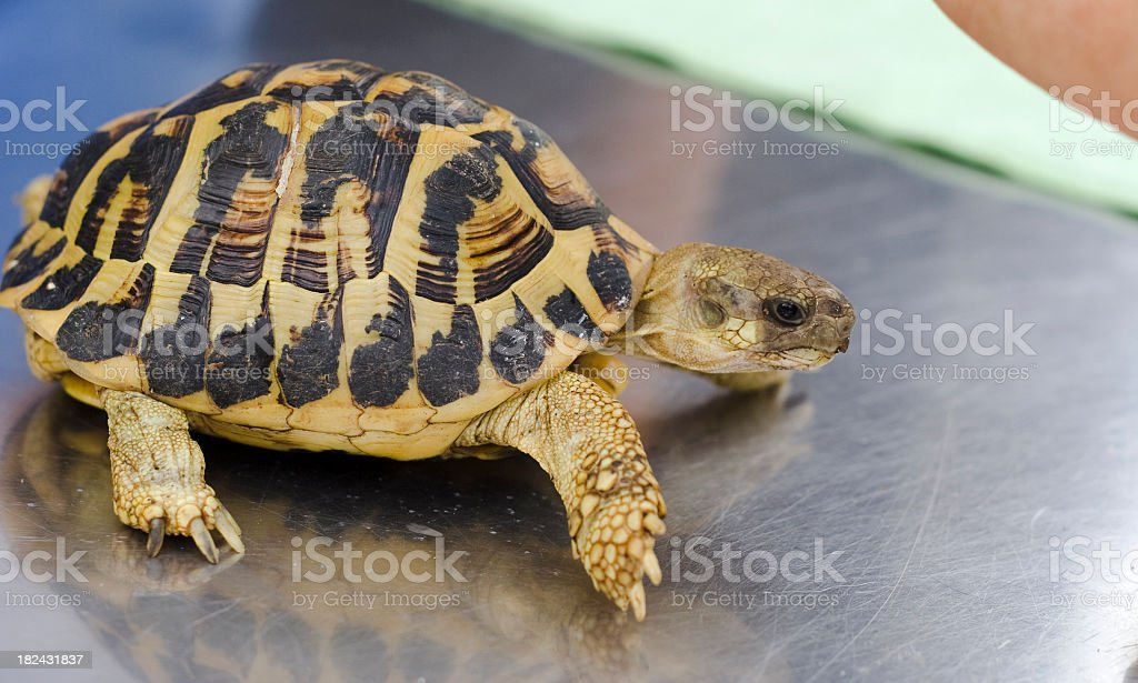 Turtle on a steel plate stock photo
