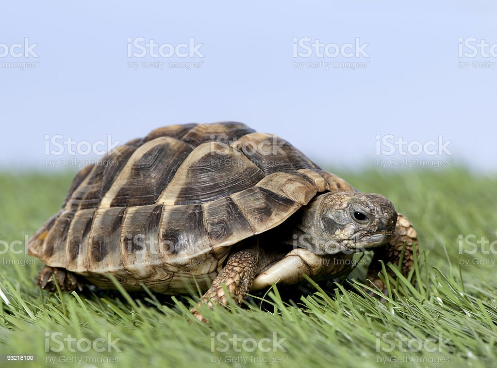 Turtle on grass against a blue sky stock photo