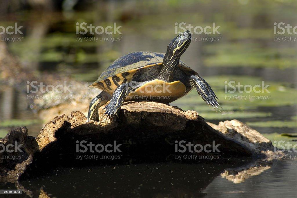 turtle on log royalty-free stock photo