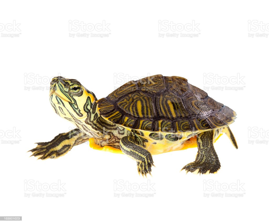 Turtle on parade stock photo