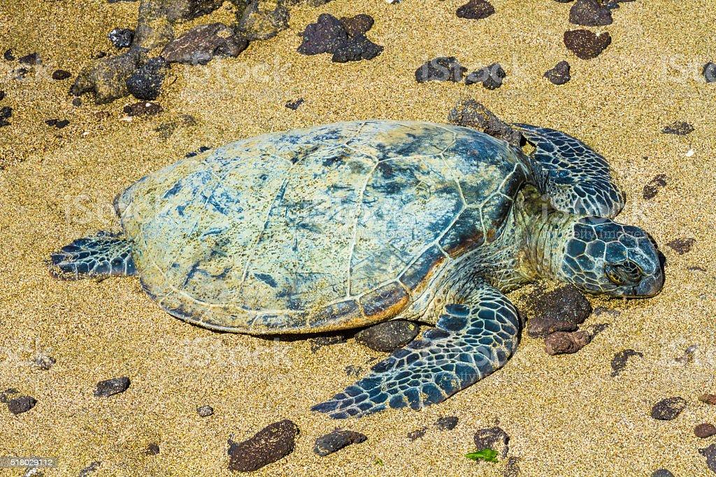 Turtle on sandy beach stock photo