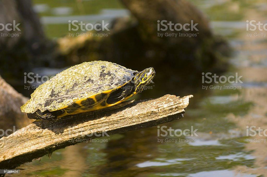 turtle on the edge stock photo