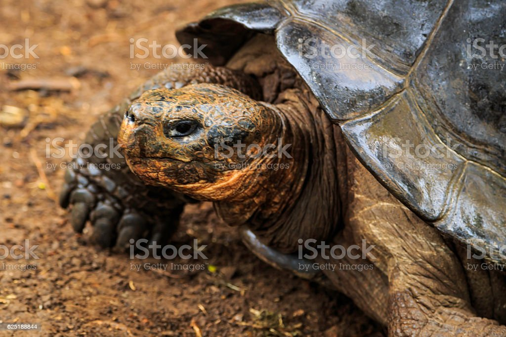 Turtle on the Galapagos stock photo