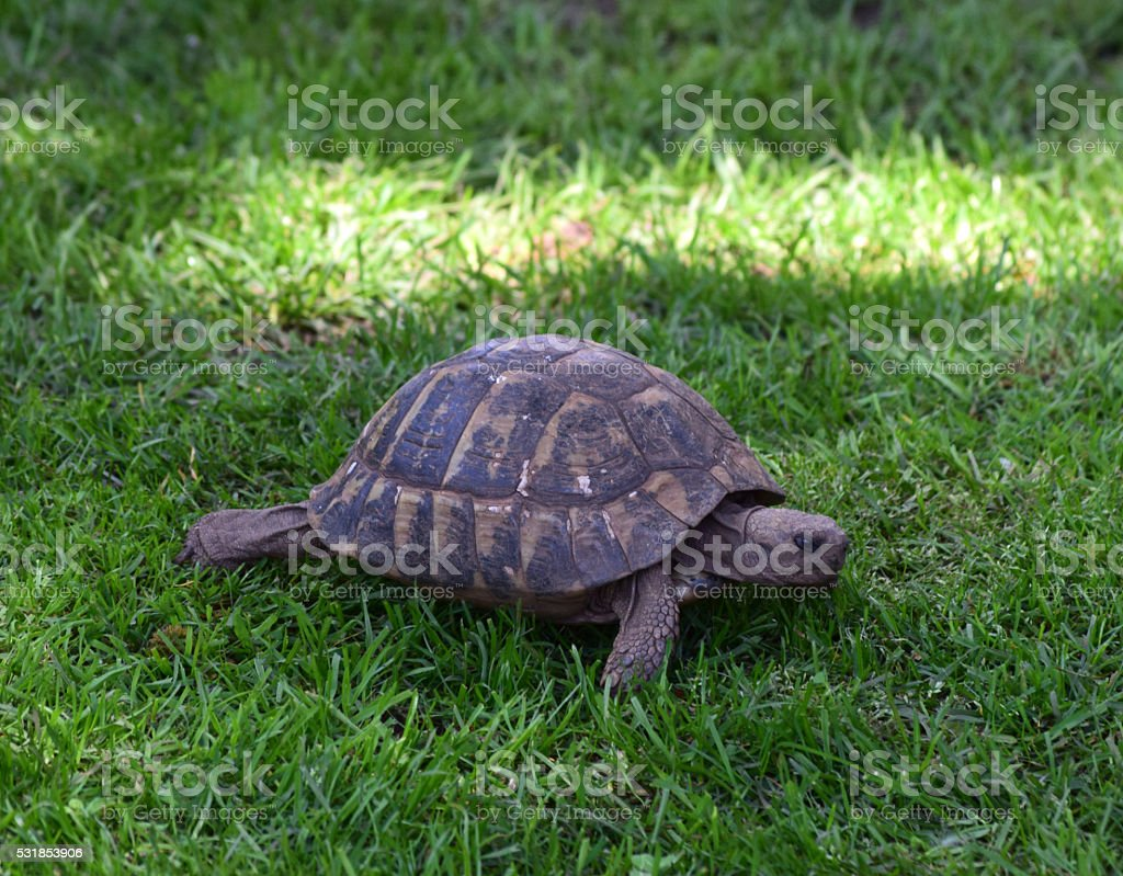 turtle on the lawn stock photo