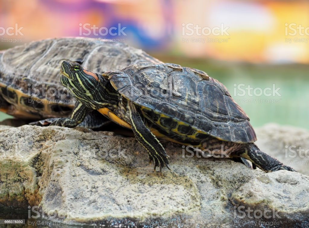 Turtle on the rock at the colorfull background stock photo