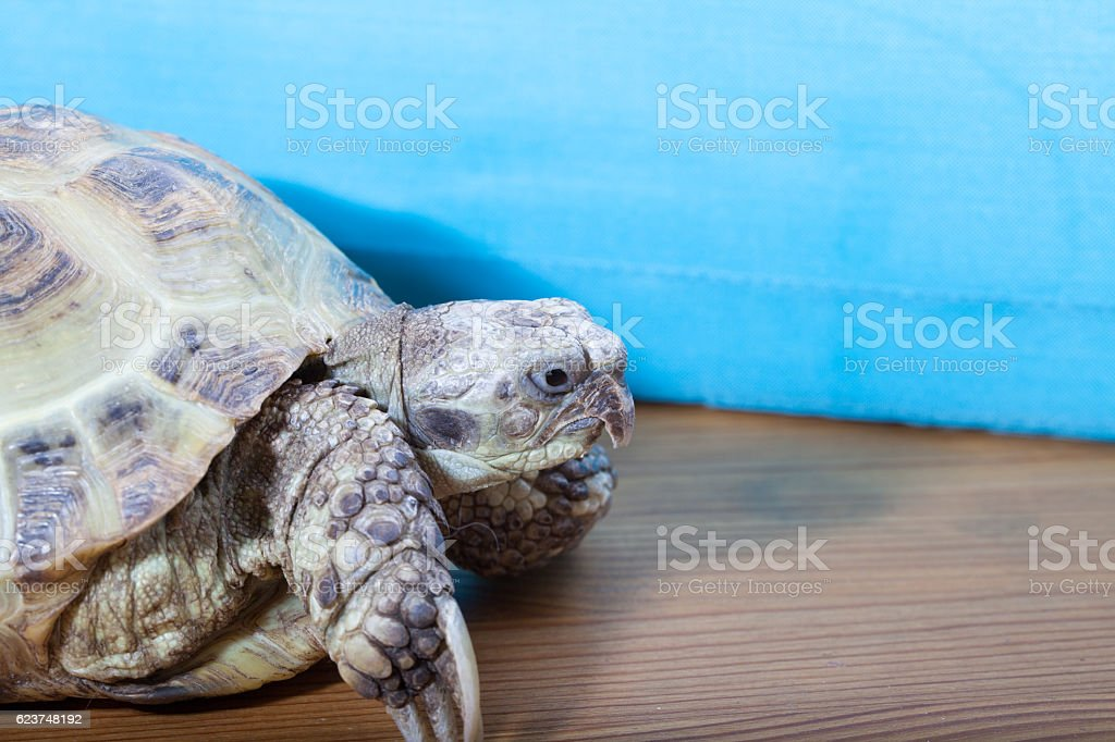 turtle on the wooden desk stock photo