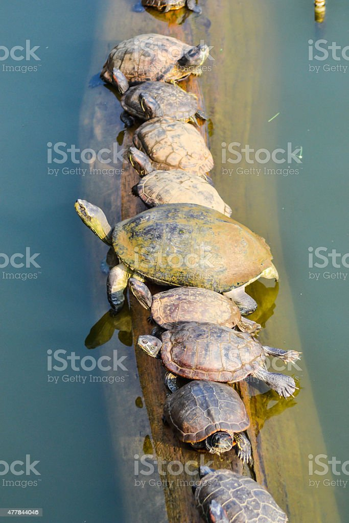 Turtle on timber stock photo