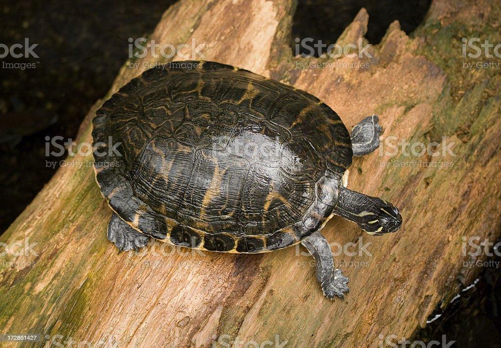 Turtle on Wood stock photo