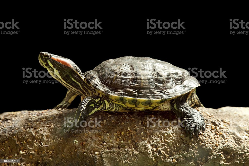 Turtle. royalty-free stock photo