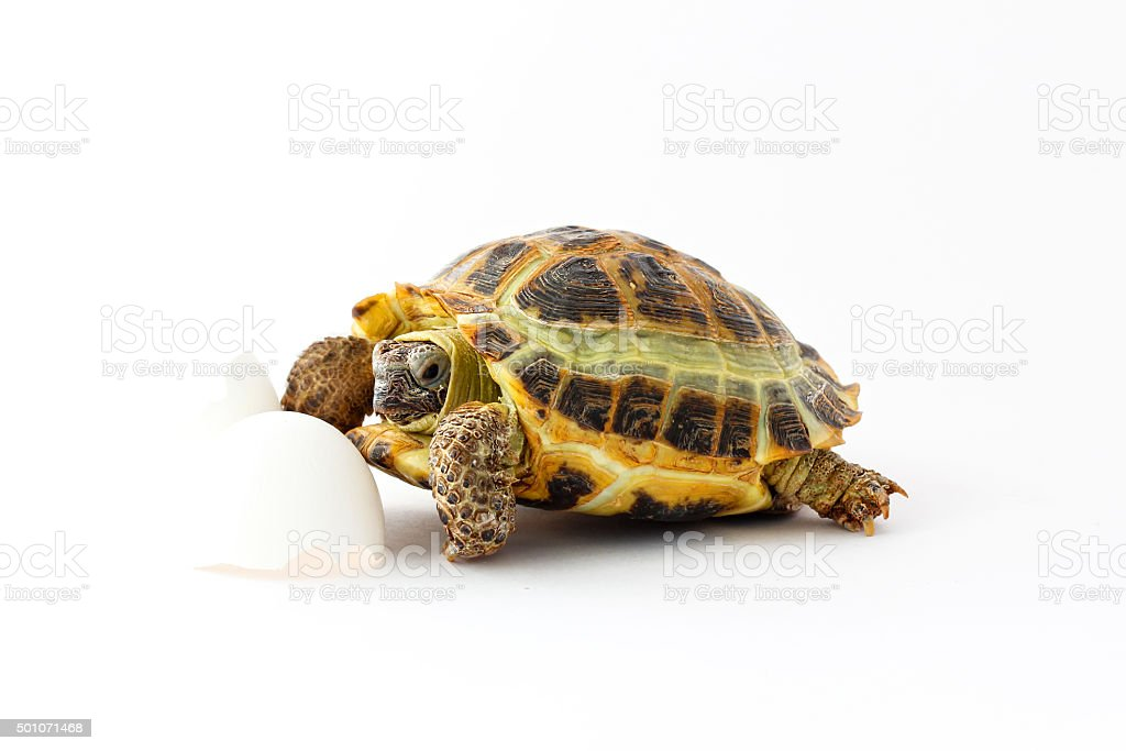 Turtle (Testudo horsfieldii) stock photo