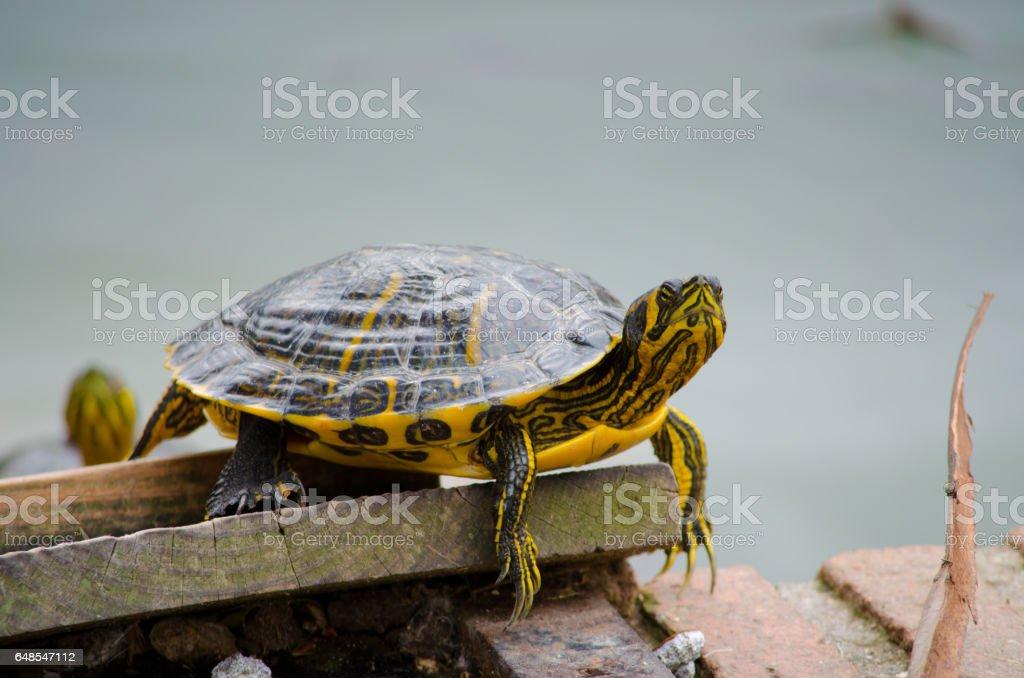 Turtle. stock photo