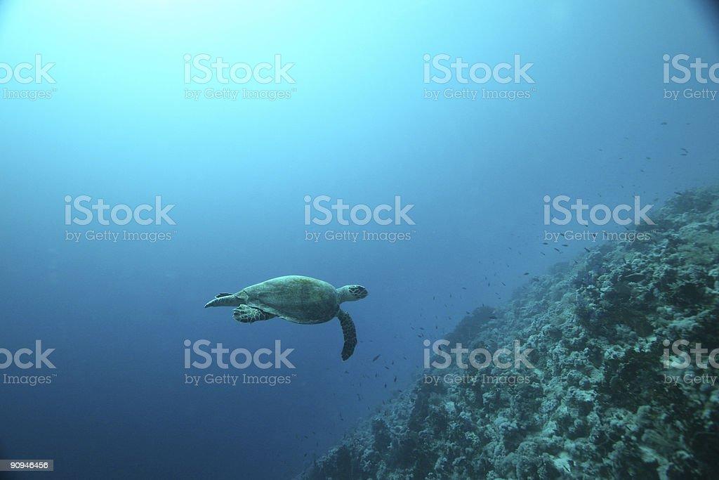Tortue aquatique photo libre de droits