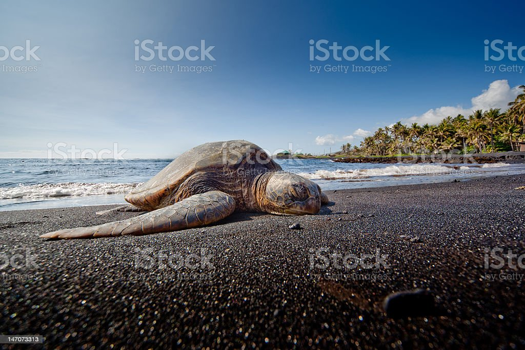 Turtle Resting on Black Sand Beach royalty-free stock photo