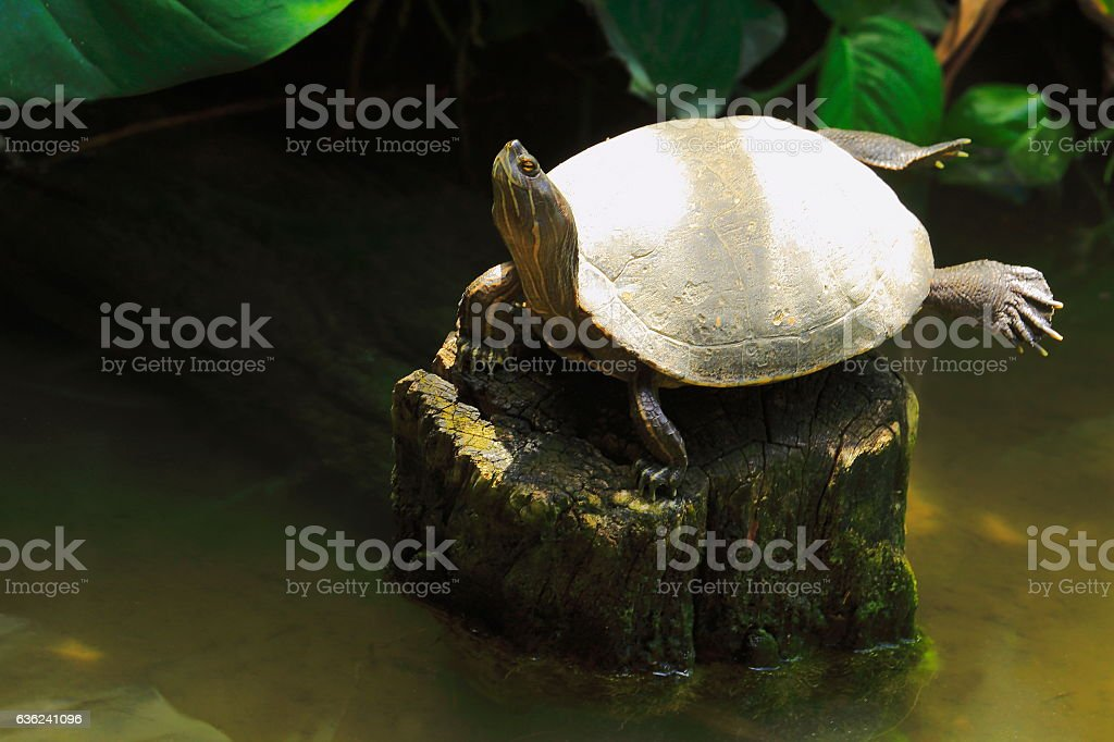 Turtle shell sunbathing, Wetland swamp tropical rainforest tree trunk stock photo