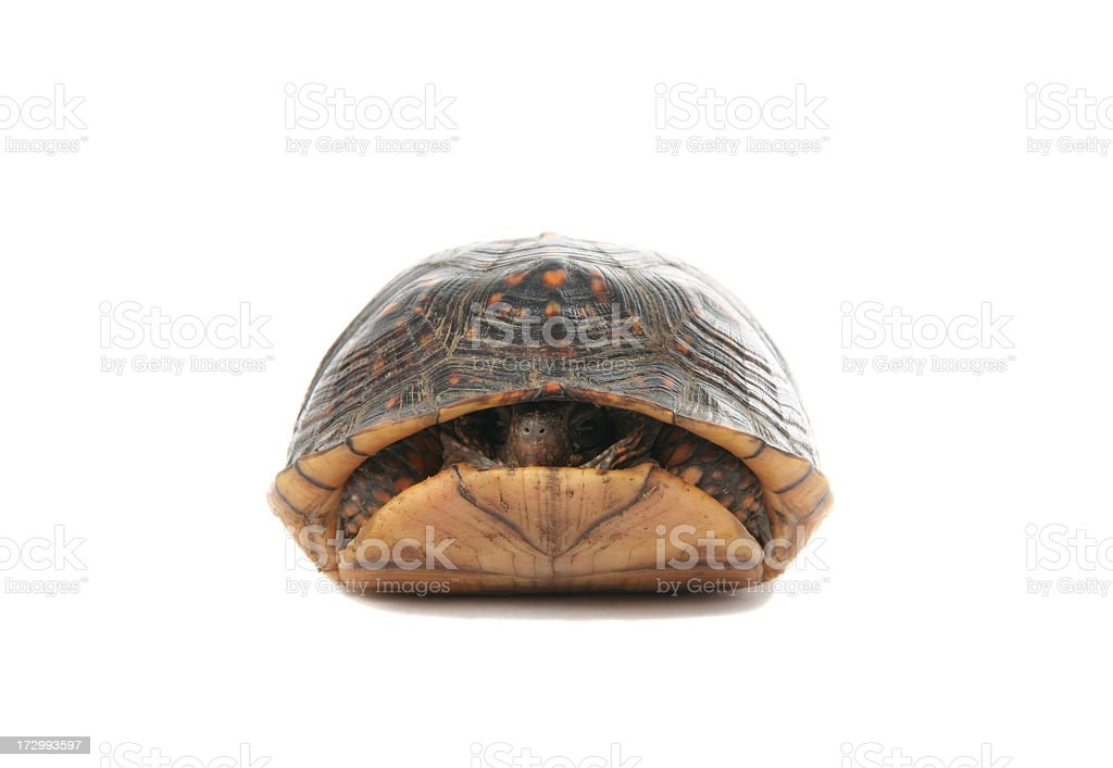 A turtle slightly poking his head out of his shell stock photo