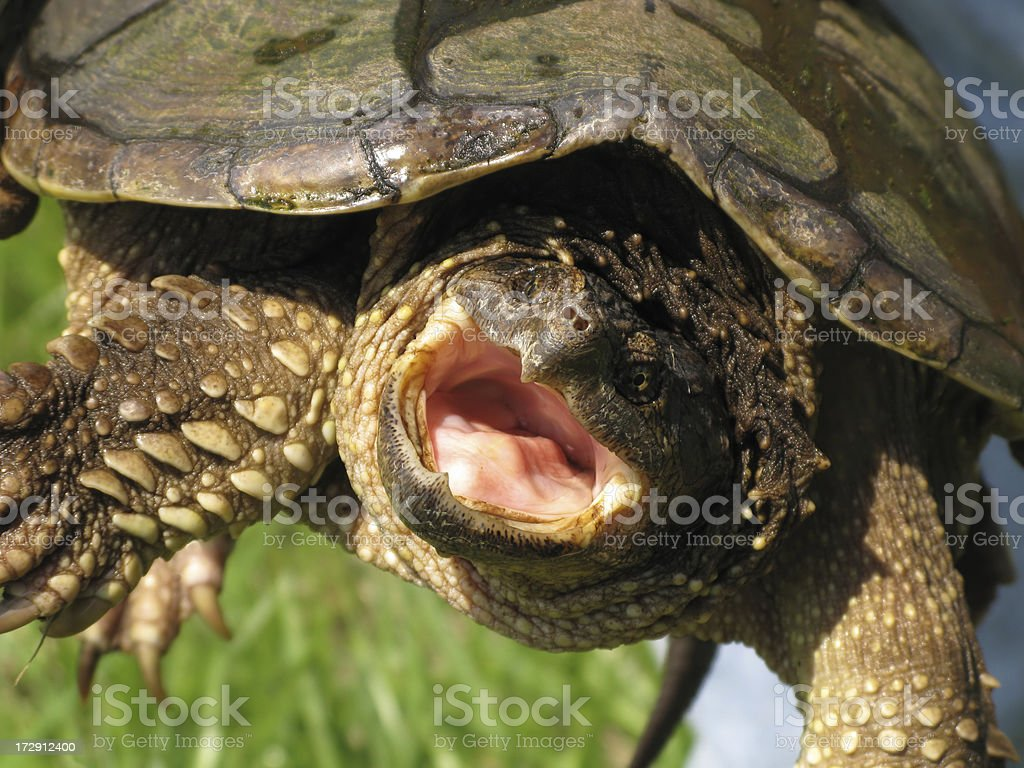 Turtle Snapping Angry Close Up stock photo