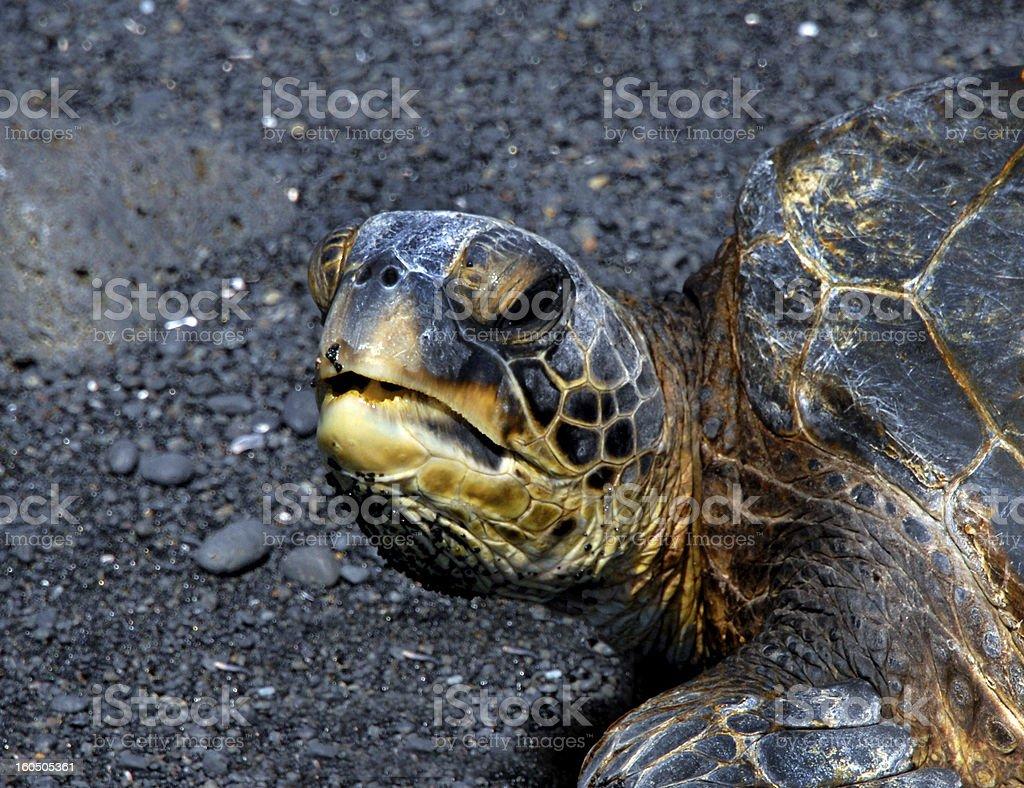 Turtle Speaks royalty-free stock photo