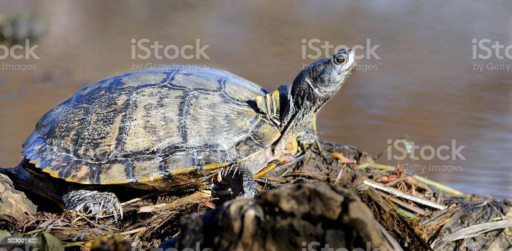 Turtle sunbathing royalty-free stock photo