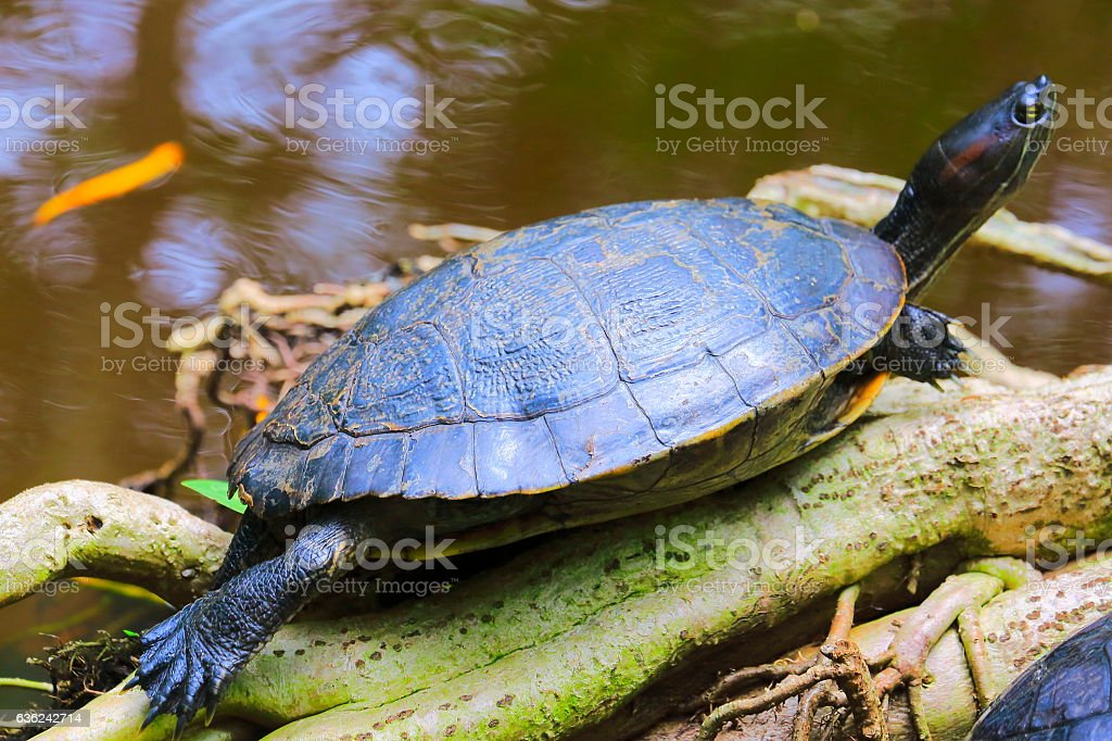Turtle sunbathing, Wetland tropical rainforest tree trunk over water stock photo