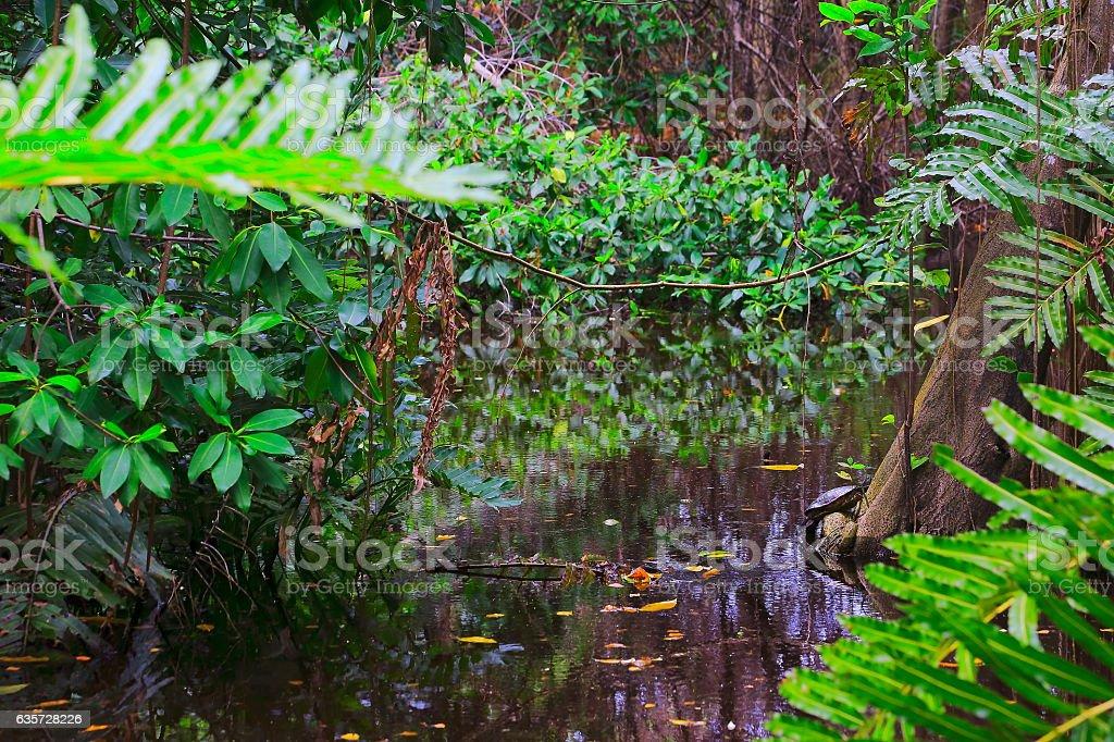 turtle, Swamp Wetland tropical rainforest, Bracken ferns over river Landscape stock photo