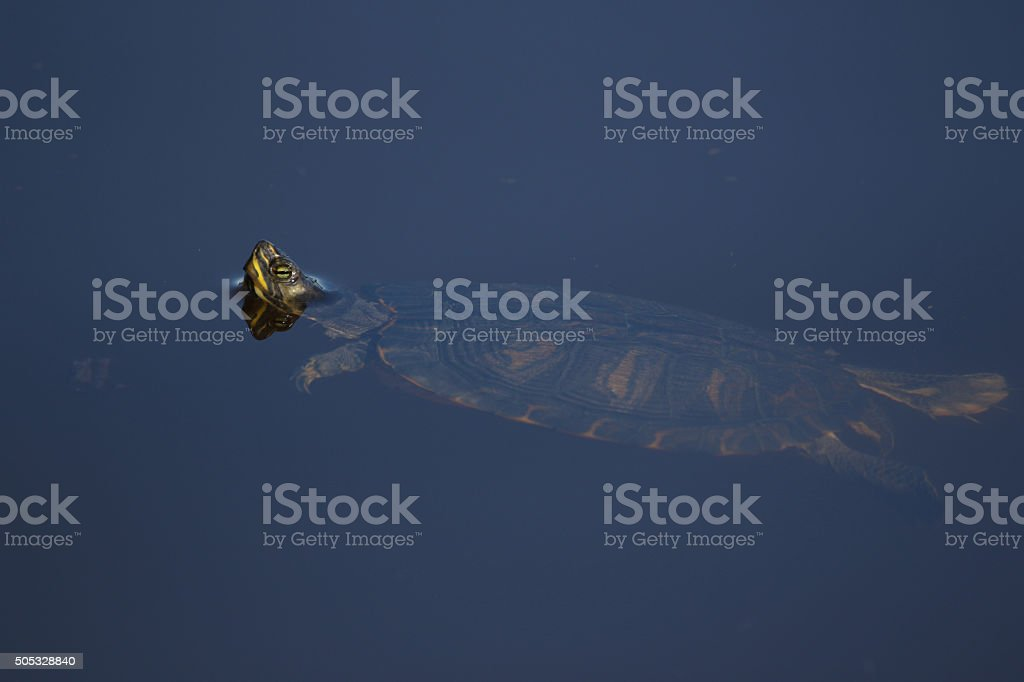 turtle swimming in a freshwater pond stock photo