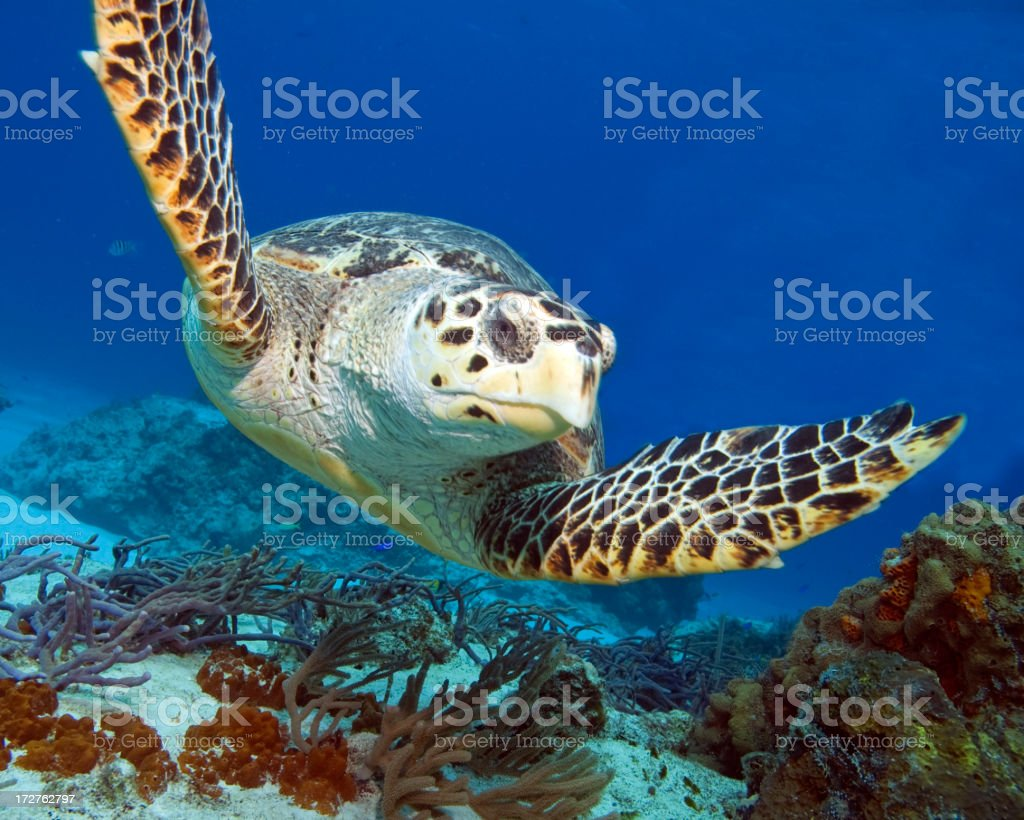 Turtle swimming in the blue sea stock photo
