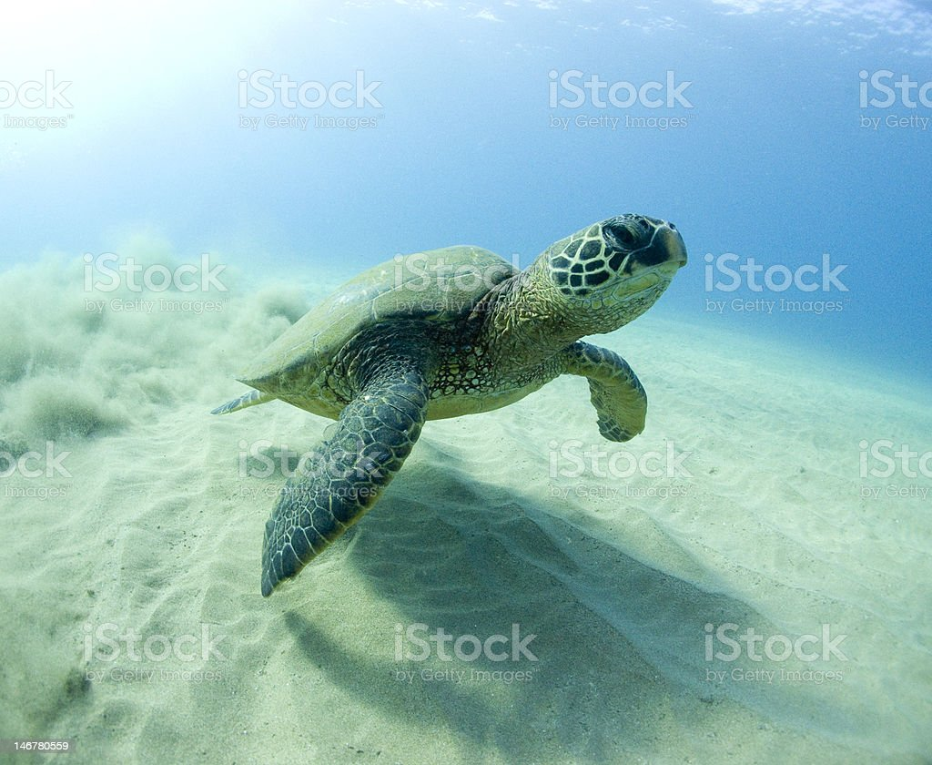 Turtle Swimming Off stock photo