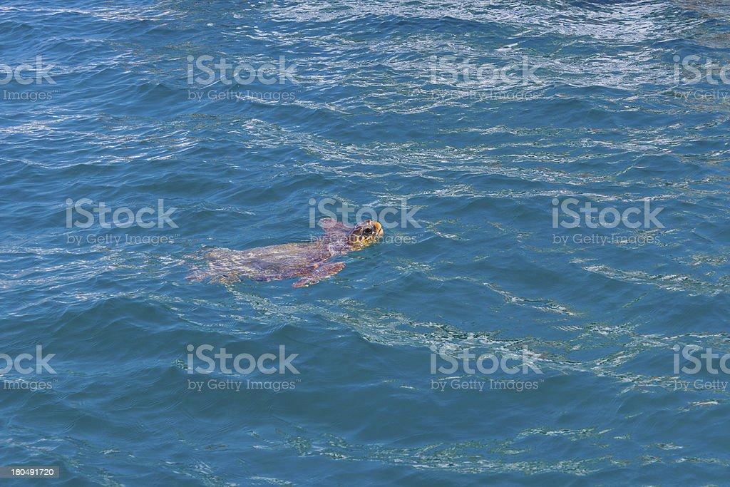 Turtle swimming royalty-free stock photo