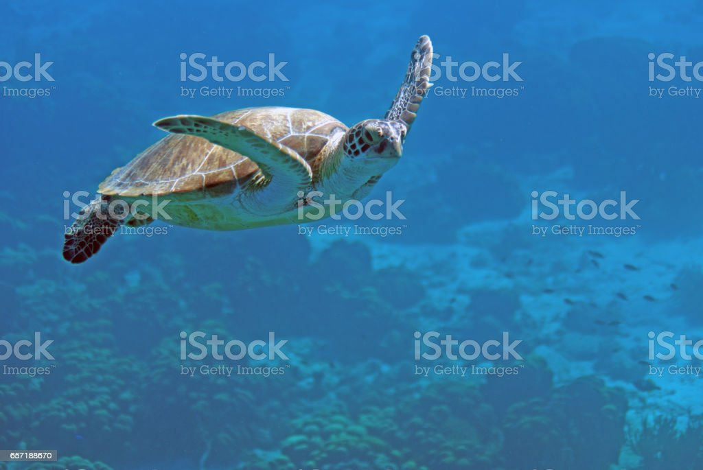 Turtle swimming stock photo