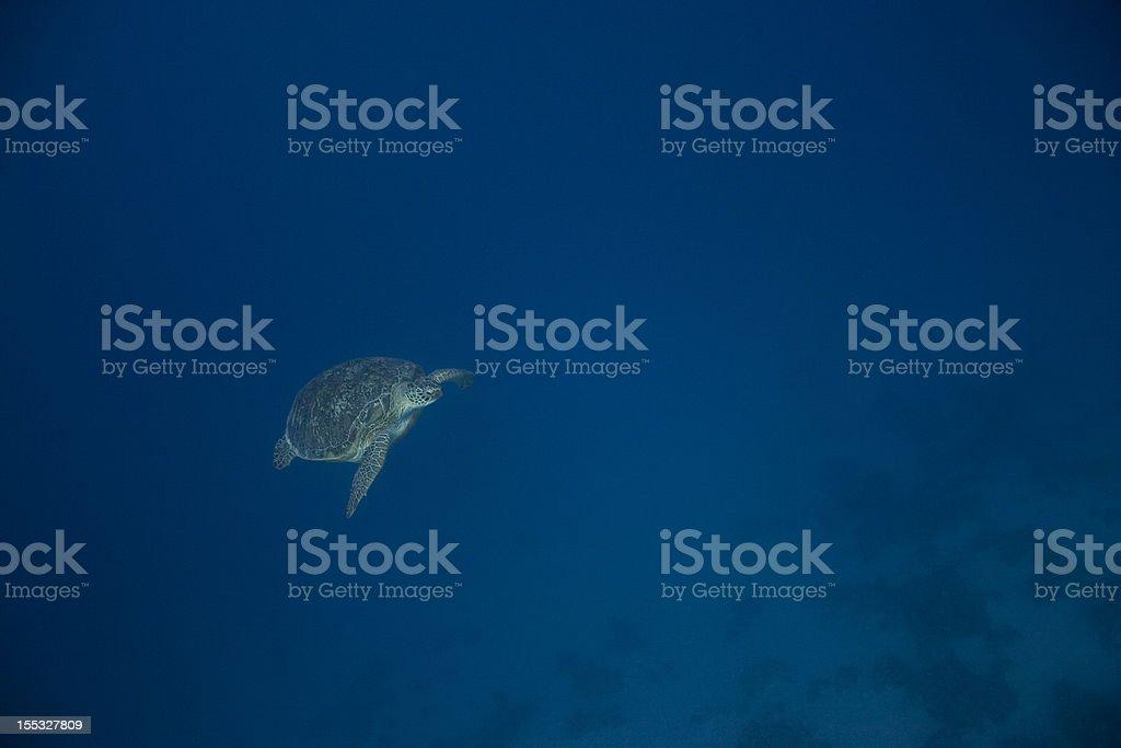 Tortue aquatique nage passé 1 photo libre de droits