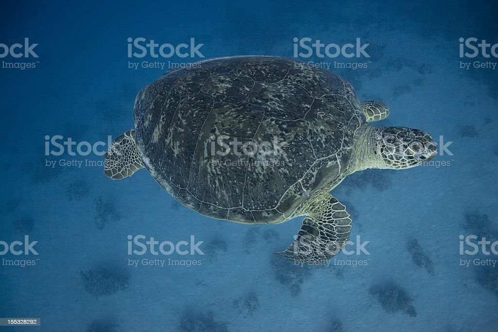 Tortue aquatique nage devant photo libre de droits