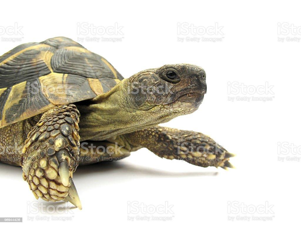 Turtle Testudo hermanni tortoise stock photo