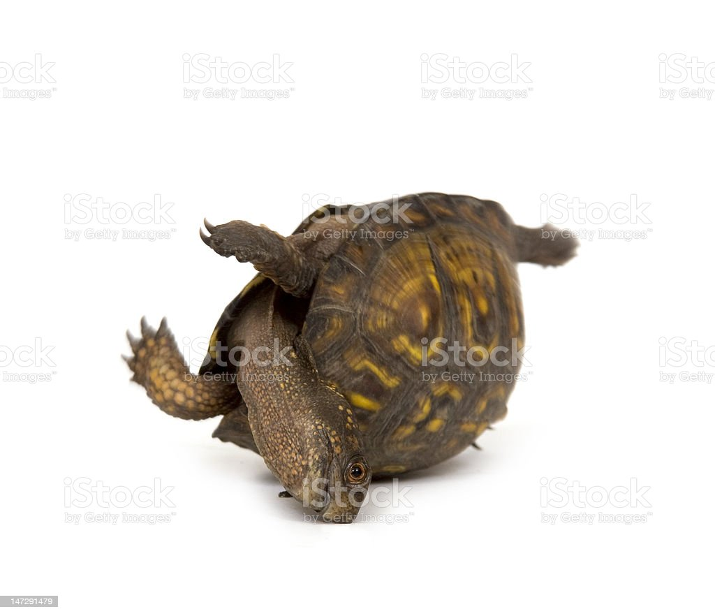 Turtle tries to flip over on a white background royalty-free stock photo