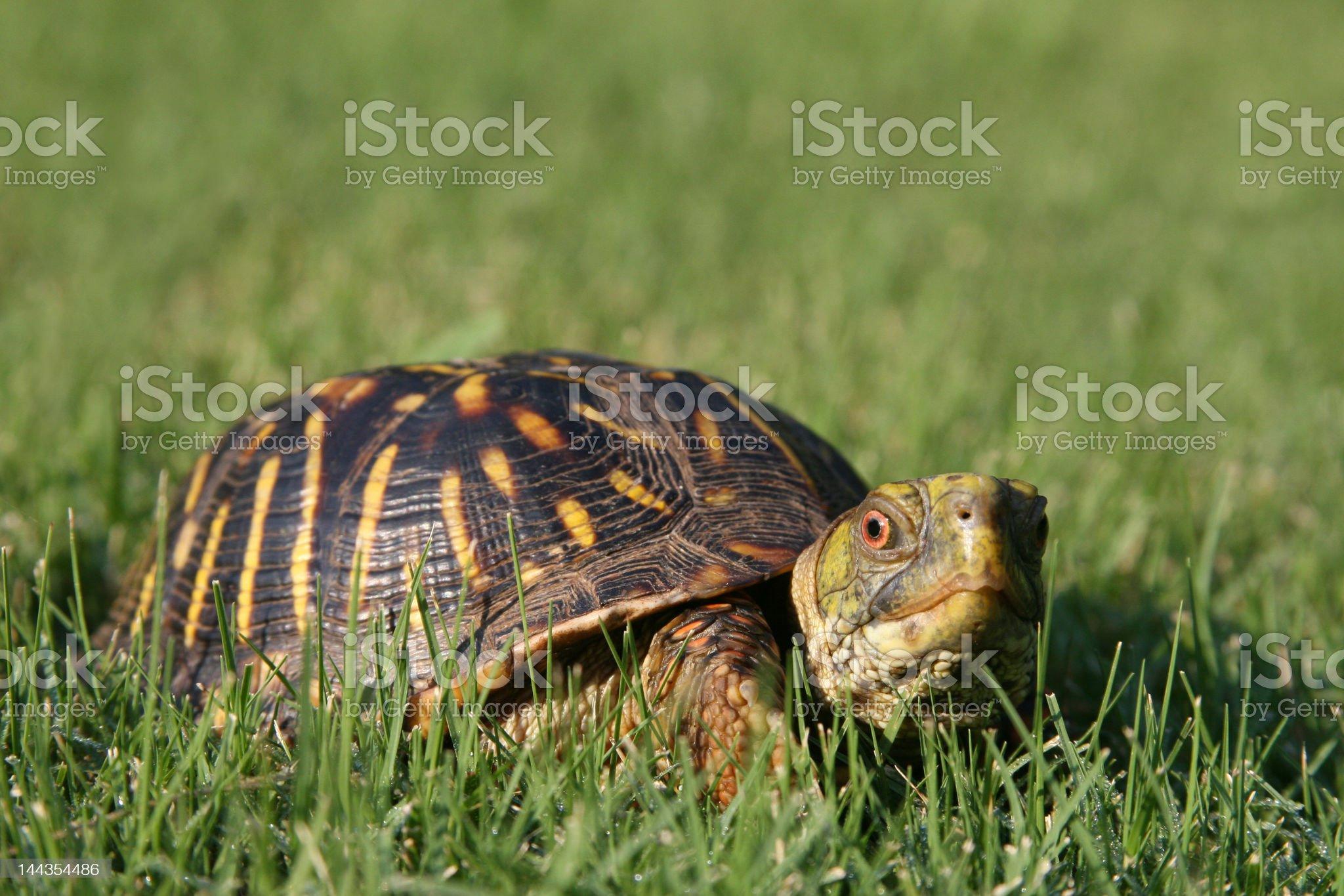 Turtle Turf royalty-free stock photo