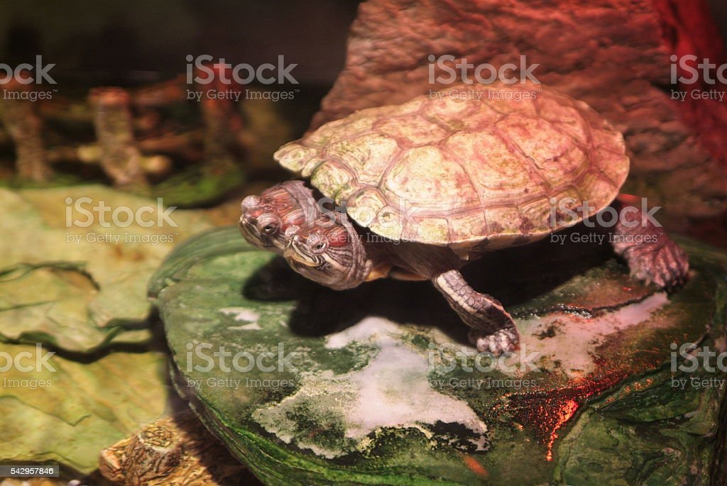 turtle two head stock photo