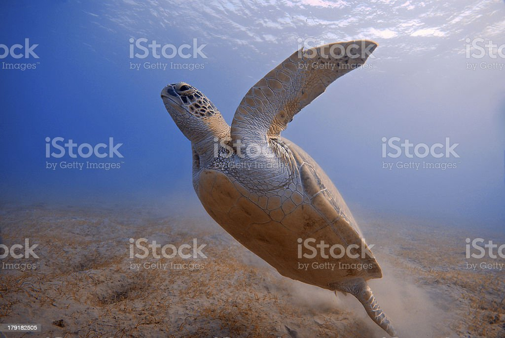 Turtle underwater in Red Sea Egypt stock photo