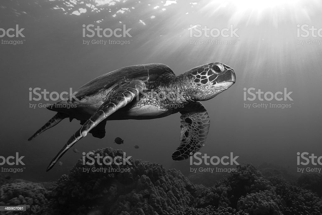 Turtle underwater inmiddle of the sea - black white stock photo