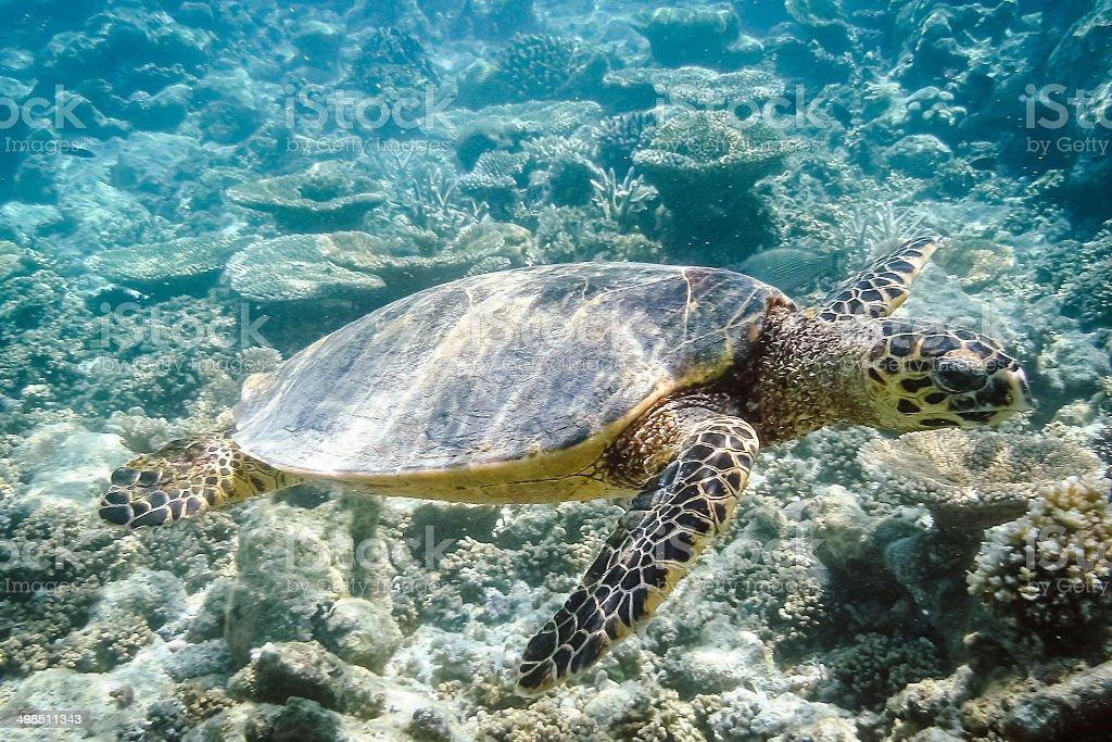 Turtle underwater royalty-free stock photo
