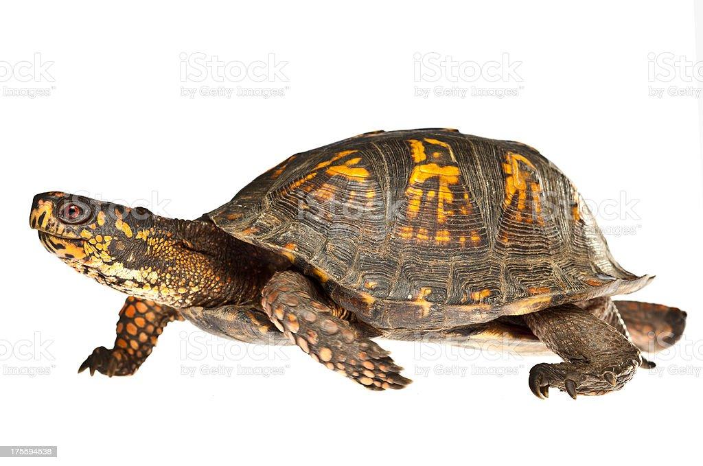 Turtle Walking on White stock photo