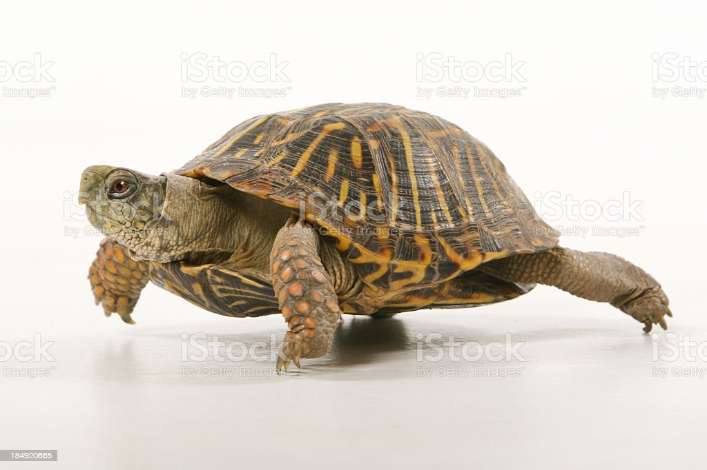 Turtle walking stock photo