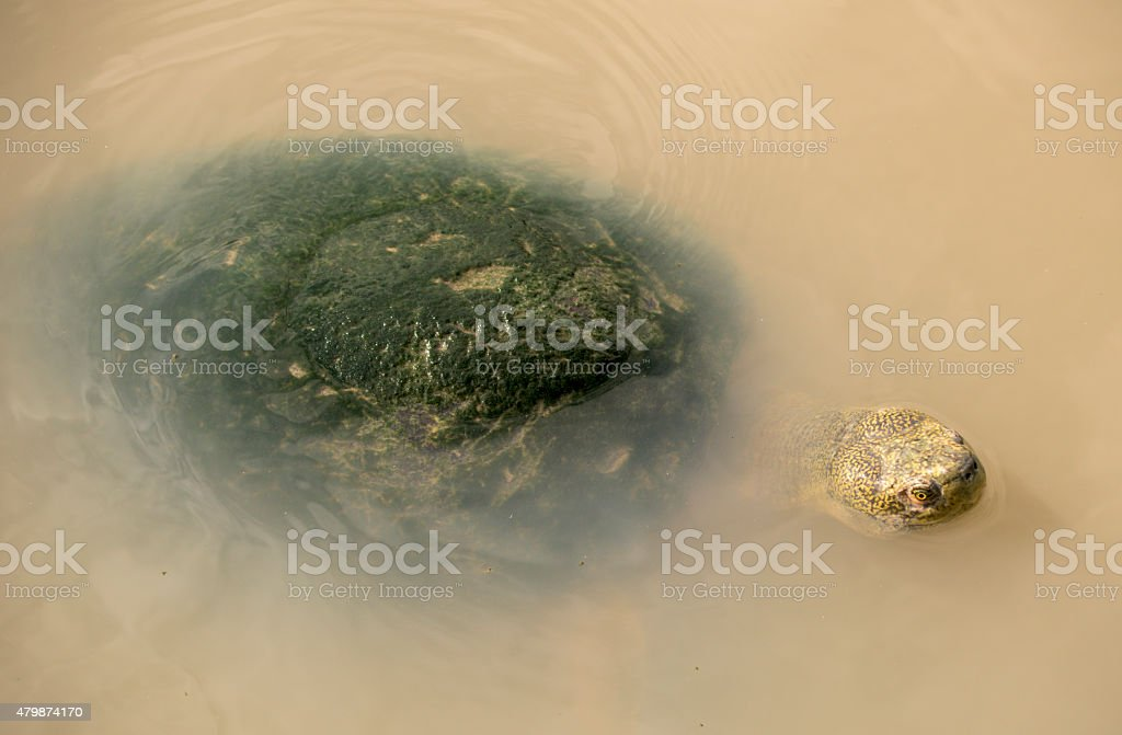Turtle with algae growing on shell stock photo