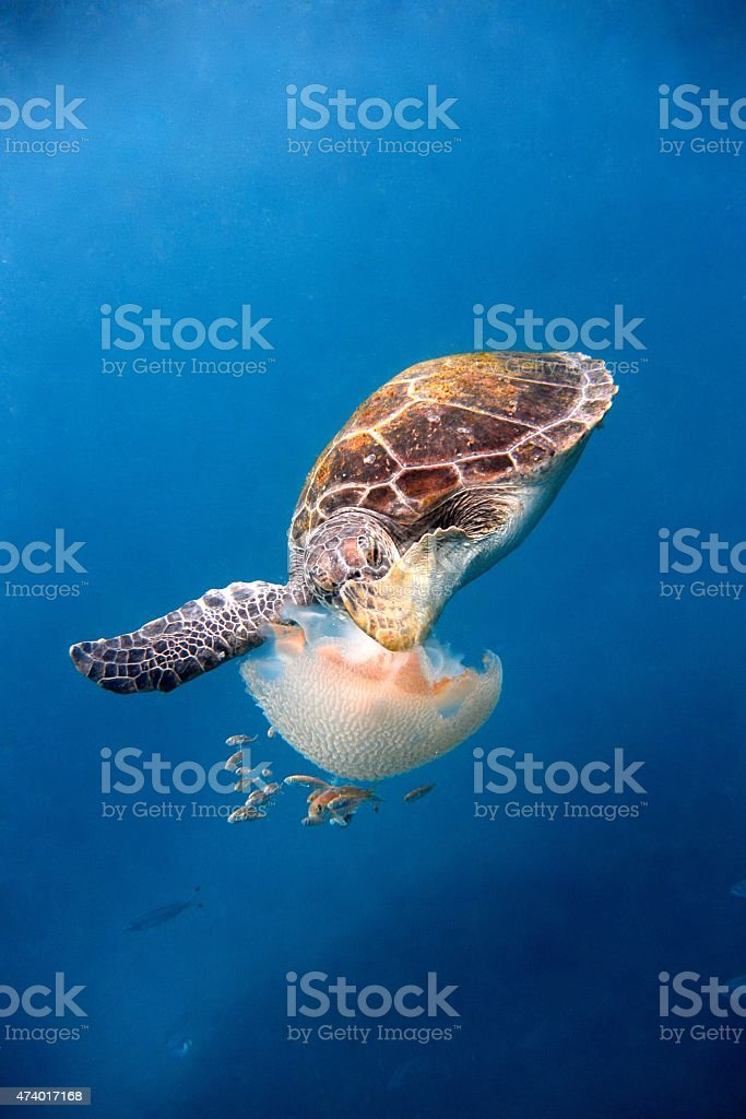 Turtle with jelly fish stock photo