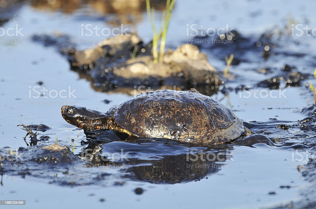 Turtle with petroleum royalty-free stock photo