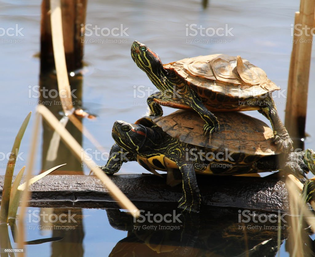 Turtle-back Ride stock photo